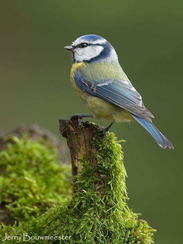 Blue Tit....common in United Kingdom