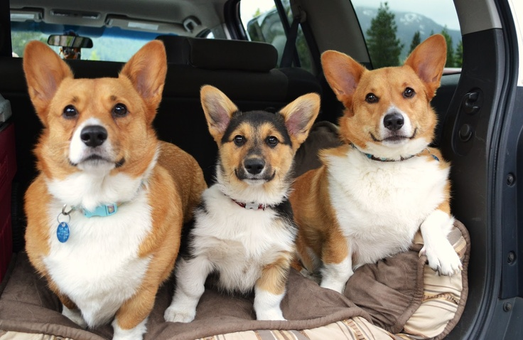 (The Daily Corgi Blog