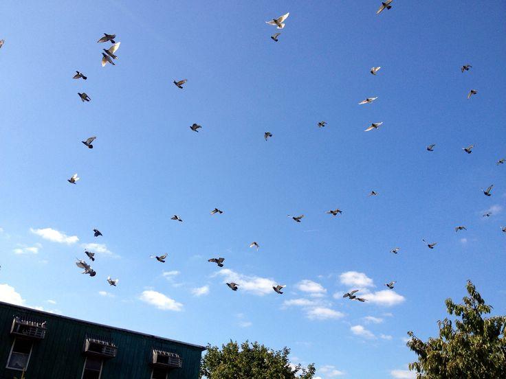 Fruwające gołębie