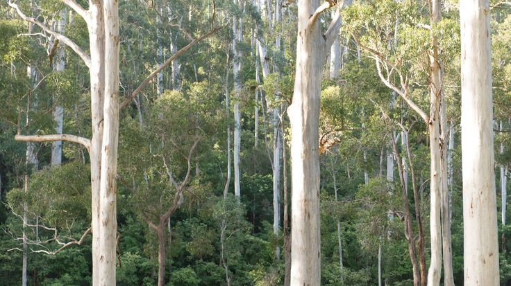 Old growth forest in Pemberton wine region