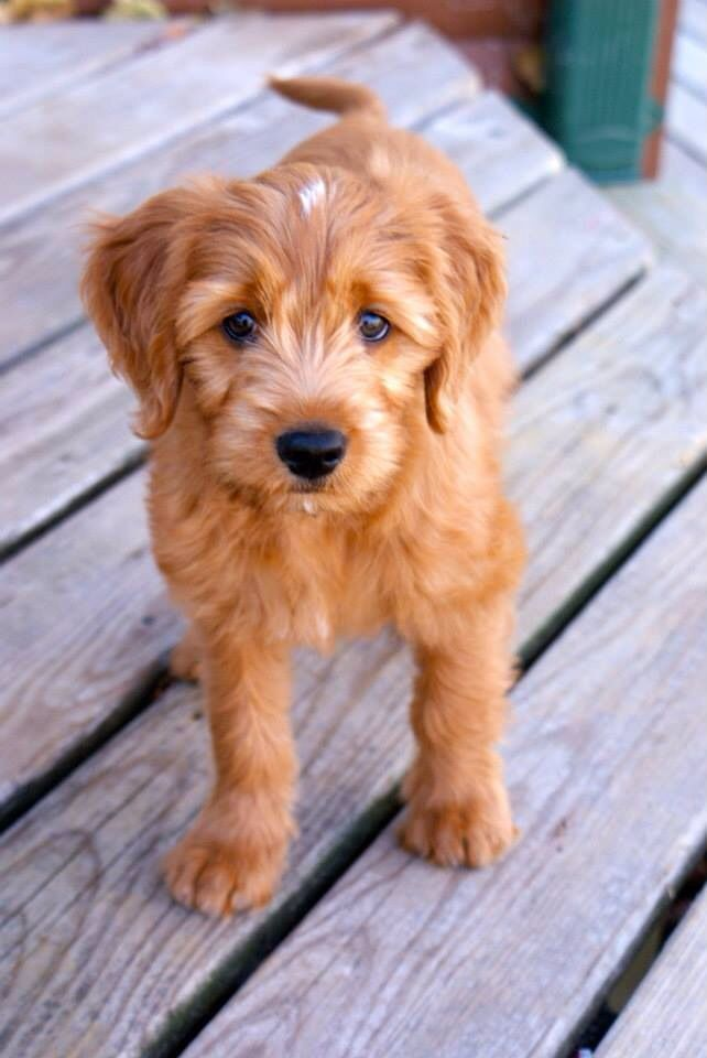 Goldendoodle Live Wallpaper Android Apps on Google Play