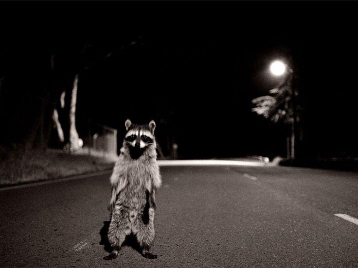 General 1280x960 raccoons night road
