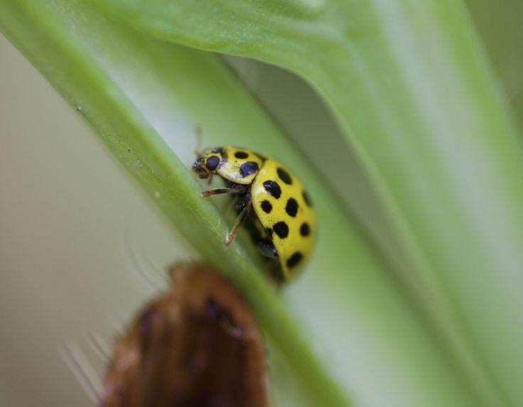 asian ladybug                                        Asiatischer Marienkäfer                                          Harmonia axyridis