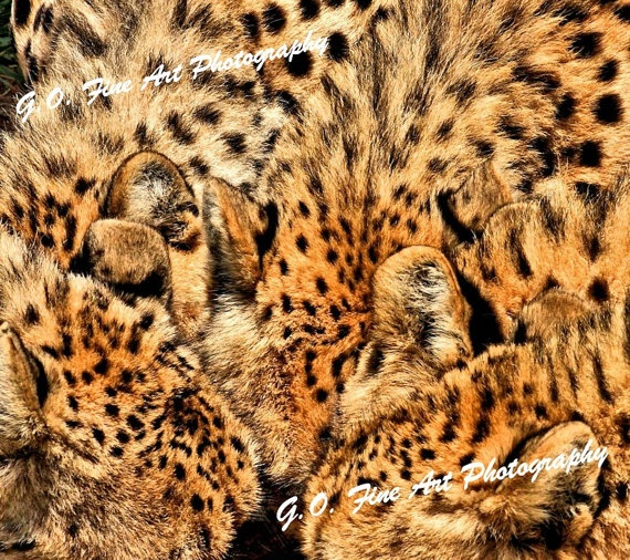African Wildlife Cheetah Males Feeding by AfricanSensations, $24.00