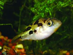 1000 images about aquarium freshwater fish on pinterest for Dwarf puffer fish for sale