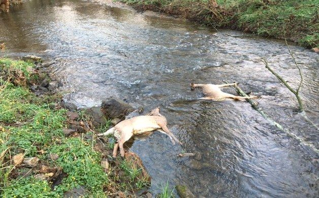 Six deer apparently electrocuted by downed power line | Chester County Press