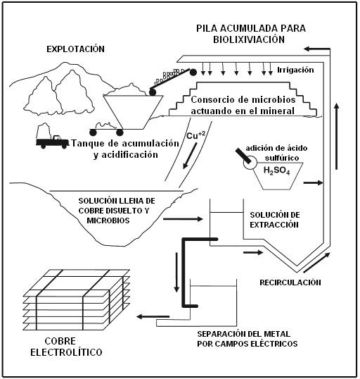 """En la biolixiviación, la bacteria más conocida es la Thiobacillus ferroxidans. Lo positivo es que estas bacterias son inofensivas para el ser humano y también para el ecosistema. Estas bacterias se """"alimentan"""" de minerales como el fierro, el arsénico o el azufre, elementos que suelen estar presentes junto a los sulfuros de cobre y que deben separarse para poder recuperar el cobre en un estado más """"puro"""".    http://books.google.es/books?id=TqAKrrIRPOEC=PA239#v=onepage=false"""