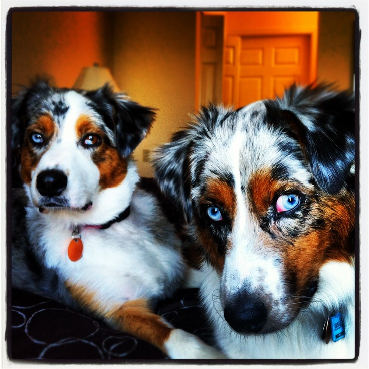Bailey and Minka Australian Shepherds