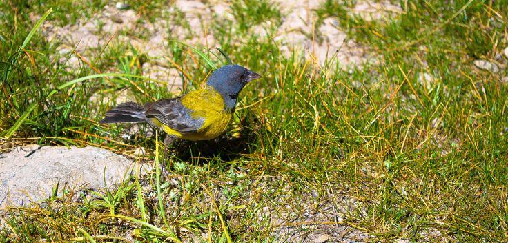Cometocino, ave típica de la cordillera de Chile.