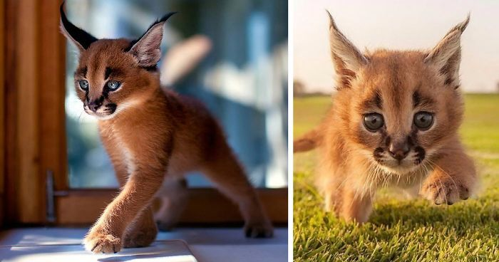 Stop everything you're doing because we just found the world's cutest cat species! Meet caracals, or to be more specific, baby caracals!