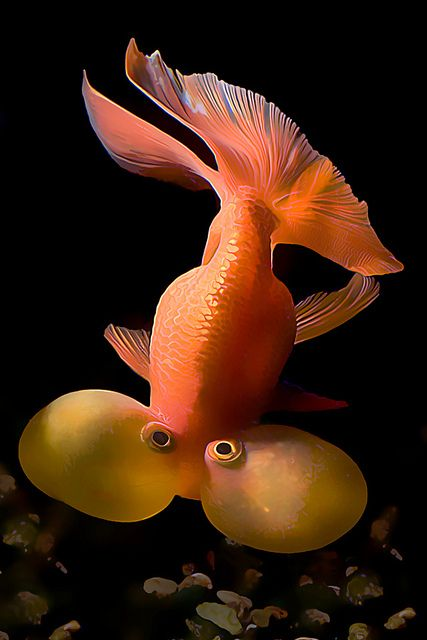 Bubble Eye Goldfish by Wernher Krutein - I used to own three of these little guys. Notoriously difficult to look after. Everything in the tank has to be soft too to protect against the 'bubbles' popping!