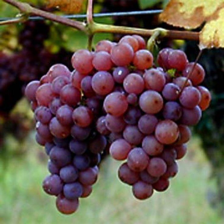 Beneficios y Peligros del Aceite De Semilla De Uva Y Porqué Debes Evitarlo