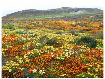 One of the best wild flower shows in the world: Namaqualand, South Africa