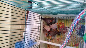 5 cute and playful Zebra finch for sale