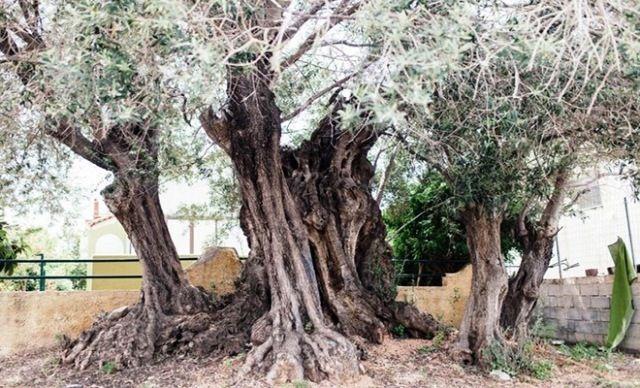 Μια γέρικη ιστορική ελιά ανακαλύφθηκε πρόσφατα από επιστήμονες του Ινστιτούτου Klorane, στο πλαίσιο της αναζήτησης Περισσότερα