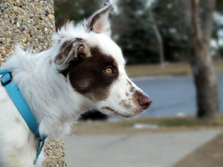 My dog, border collie-Australian cattle dog cross