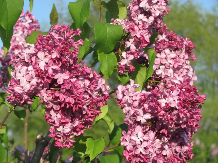 Lindsay Lilac Garden. Full bloom. 600 lilacs in the gardens.
