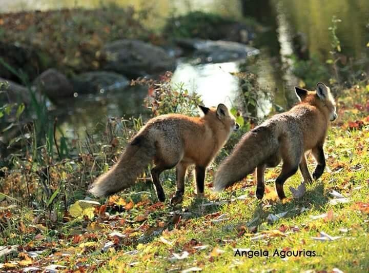 Gorgeous Pair of Fox!  :)