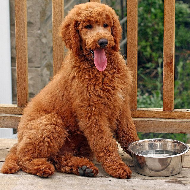 Standard poodle w/ a teddy bear cut instead of those ugly poodle cuts.