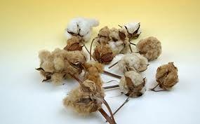 native colored cotton - Hledat Googlem