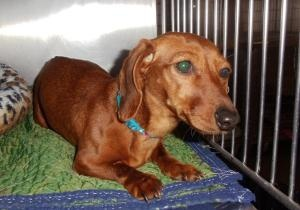 'Ruby Tuesday' is an adoptable Dachshund Dog in Allegan, MI. 'Ruby Tuesday' is a stray. Her owners have until 5pm on 4/8/13 to claim her. After that time she will be available for adoption. Better pho...