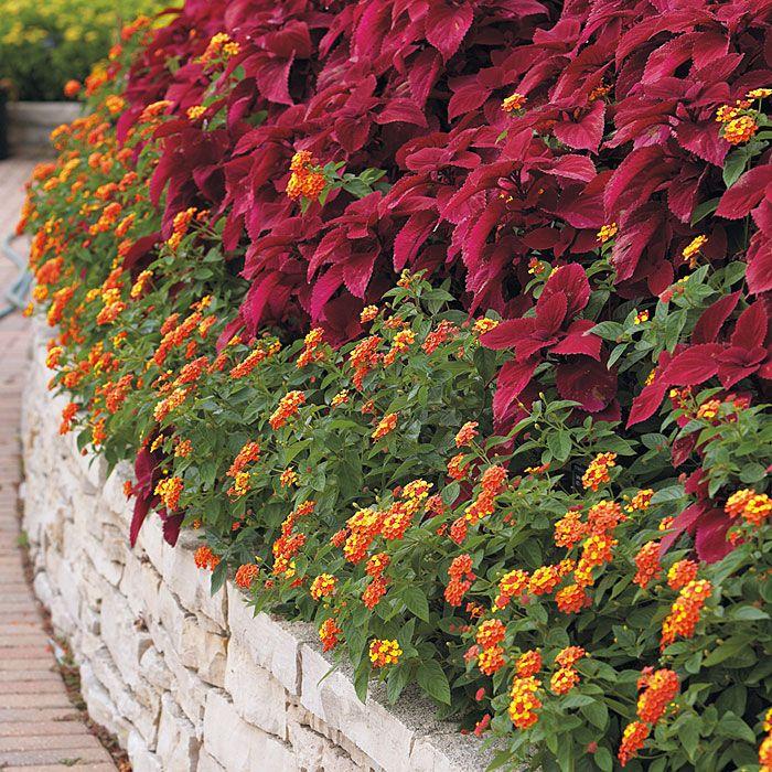 Landmark™ lantanas and 'Redhead' coleus: Gardens Ideas, Redheads Coleus, Gifts Cards, Beautiful Orange R, Flowers Plants, Gardens Gates, Orange R Lantana, Landmarks Lantana, Raised Flowers Beds
