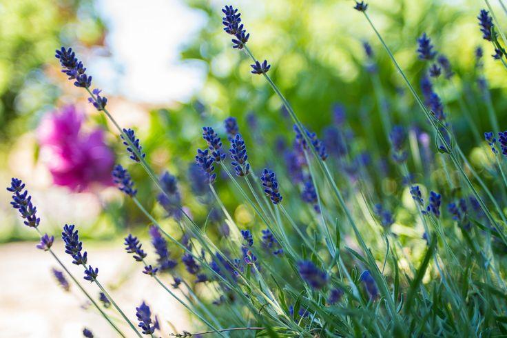 Lavender - Fresh blooming lavenders.