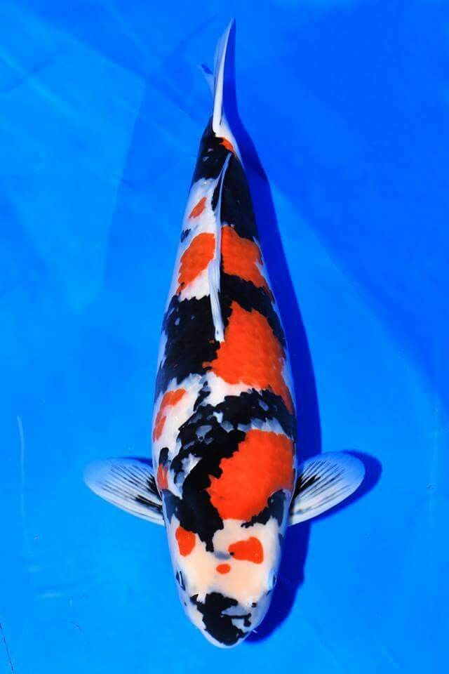 1143 best images about koi on pinterest niigata for Koi carp farm