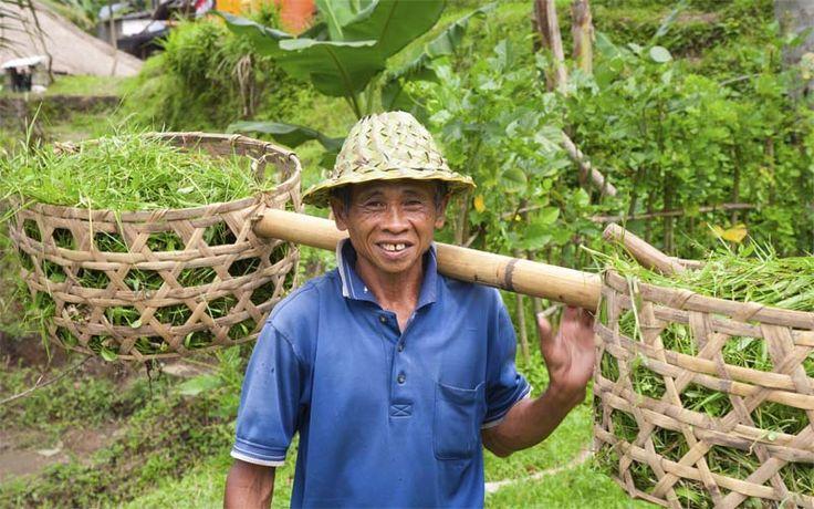 In de rijstvelden van Bali. Rondreis - Vakantie  - Indonesië - Bali - Rijstvelden