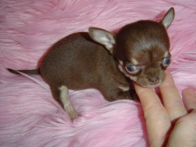 Chihuahua Puppy for Sale Chihuahua Breeders Chihuahua for Sale ...