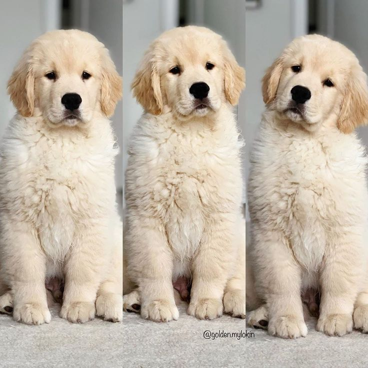 Goldenretriever Puppy Baby Animals Funny Golden Retriever