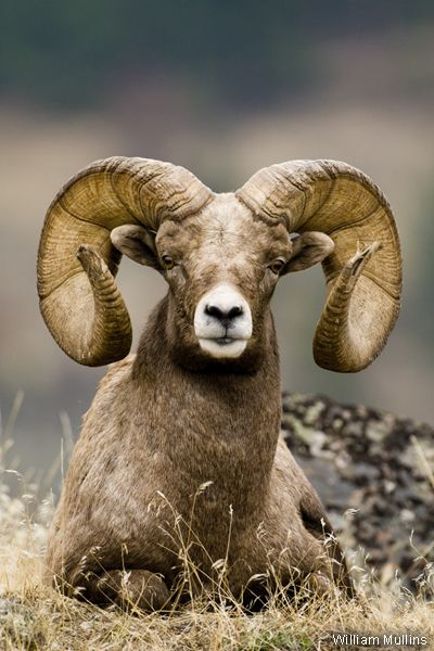 Photo of the Week: Rocky Mountain Bighorn Sheep - National ...