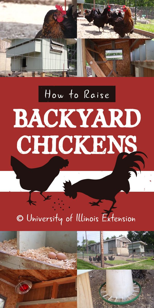 raising chickens backyard projects backyard chickens poultry chicken