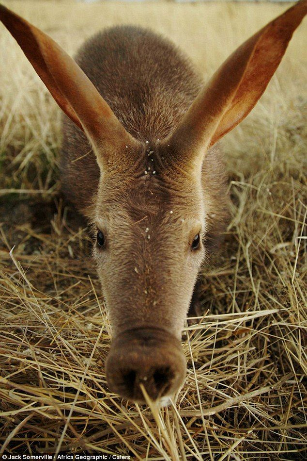 """Doesn't Get ANY Cuter Than This Aardvark.."""