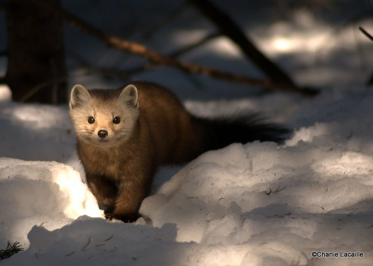 Pine Marten, Mew Lake, Algonquin Park, Ontario while winter camping