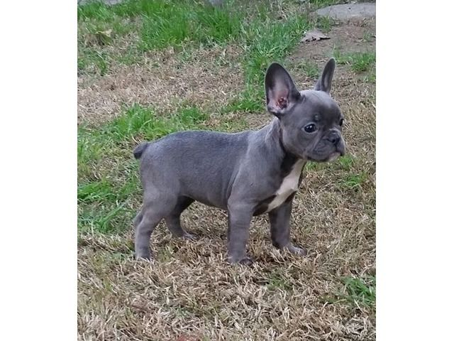 Sean Both M F French Bulldog Puppies Available Now Bulldog