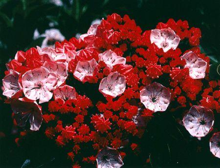 Kalmia szerokolistne Raspberry-  Kalmia latifolia Raspberry