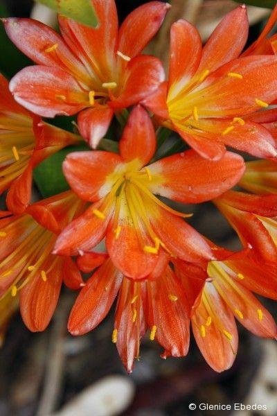 Clivia miniata (Clivia)