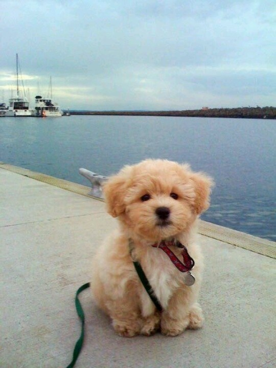 """So umm basically this is all i want. Literally. (: Its breed is called a """"teddy bear dog"""" :)"""