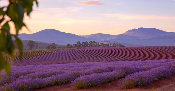 We grow true French lavender, Lavandula angustifolia, the only variety suitable for use in perfume and cooking—a true paddock to plate experience.