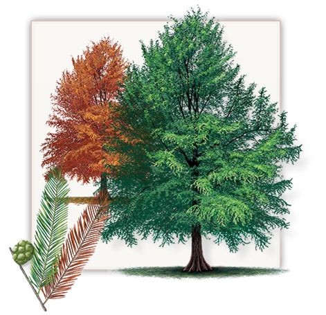 Bald Cypress Tree | Mature Height: 60' - 70' | Fall Color: Rusty Red | Growth Rate: 1.5' - 2' Per Year  #trees #landscaping #gardening