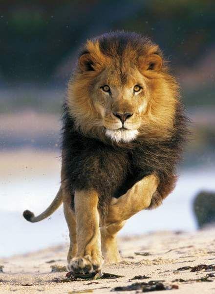 obrázek puzzlí Puzzle 1000 Running Lion