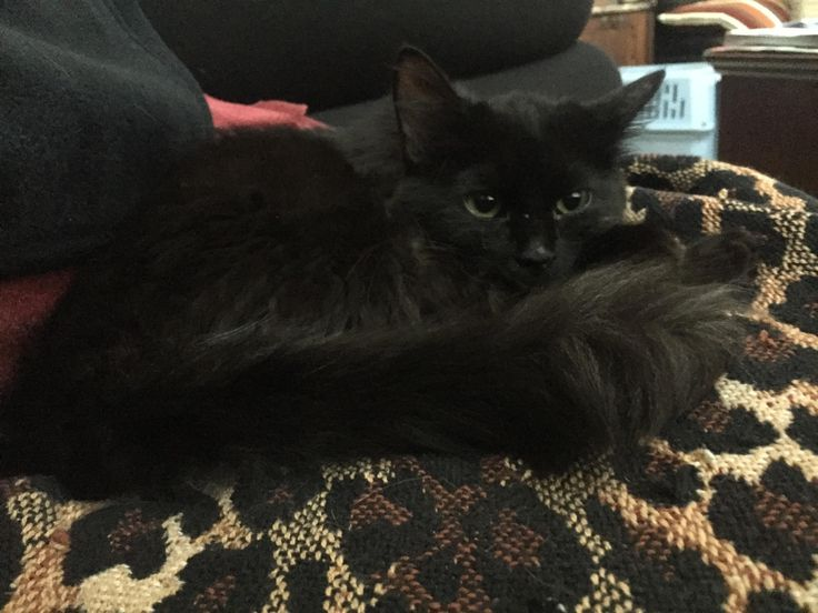 My girlfriend gave this sweet adorable black kitty named Luna a home for the holidays