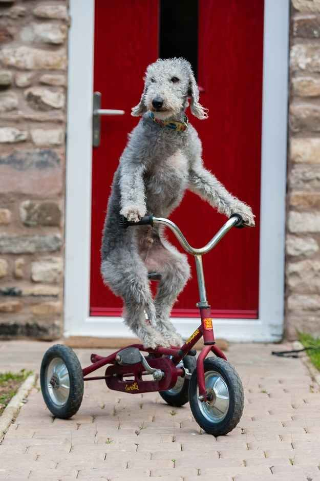 Just A Dog Riding His Bike Like A Complete Boss...Meet Barry the Bedlington terrier. Barry loves to ride his bike.