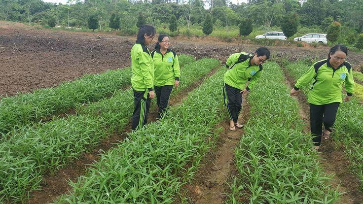 Kesemangatan Ibu PKK saat panen sayuran di kebun PKK Kabupaten Sekadau