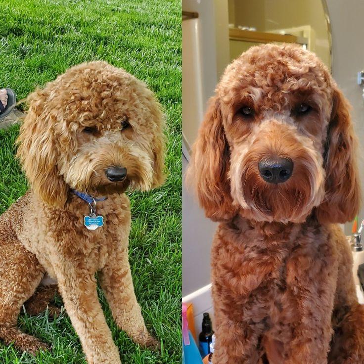 Goldendoodle groom hair style in 2020 groom hair styles