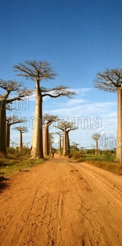 Panorama of Giant Baobabs (Adansonia grandidieri) in the avenue of Baobabs, Madagascar