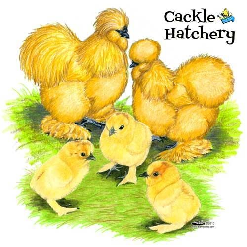 Buy Buff Silkie Bantam Chicks, Buff Silkie Bantam Chickens for Sale, Buff Silkie Bantam Chicken Image Photo