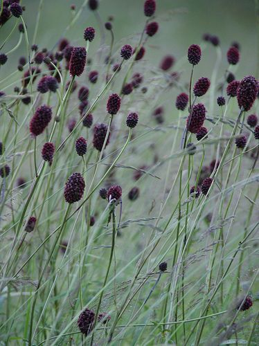 Sanguisorba officinalis 'Arnhem' - Pimpernel (jul-aug, 150 cm, zon, normale grond)