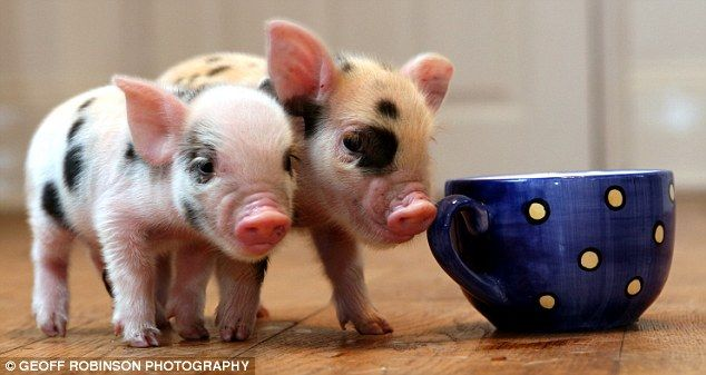 SO Cute! Tiny pigs the size of tea cups are the latest pet craze sweeping across Britain... my husband wants one.